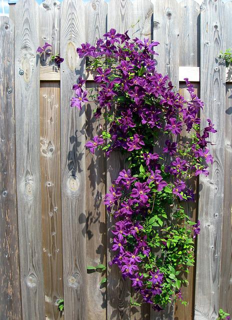 Clematis, Purple, Flowers, Bloom, Flower, Fence