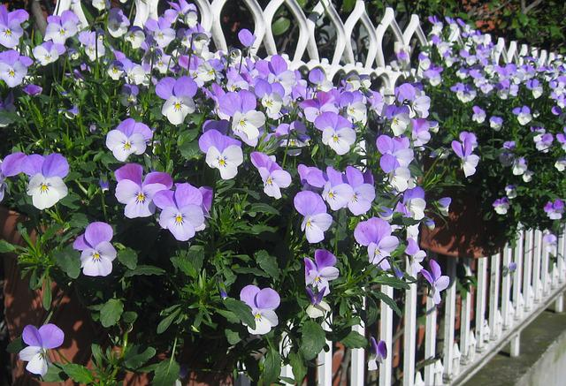 Pansy, Sumire, Fence, Purple, Tokyo, Japan