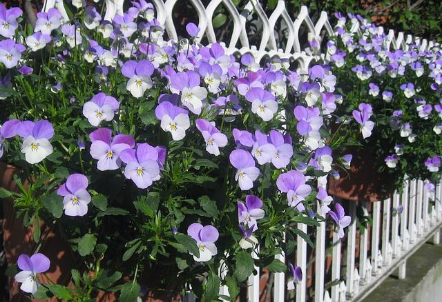 Pansy, Sumire, Fence, Purple, Tokyo, Japan