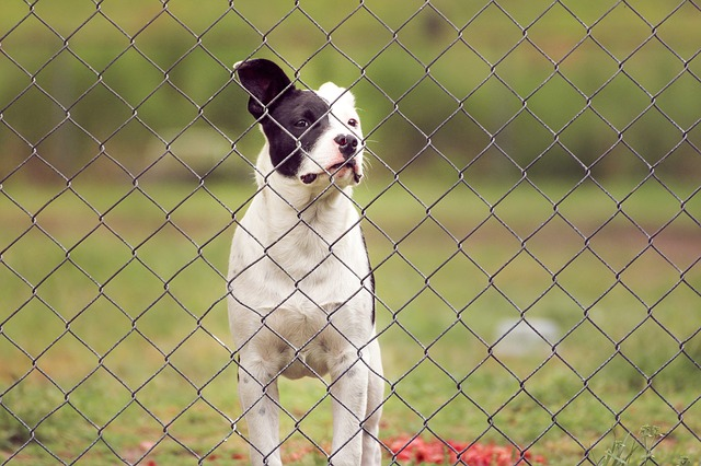Pit, Puppy, Dog, Small, Canine, Fence, Young, Outdoors