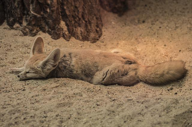 Fennec Fox, Zoo, Chilling, Sleeping, Dessert, Animal