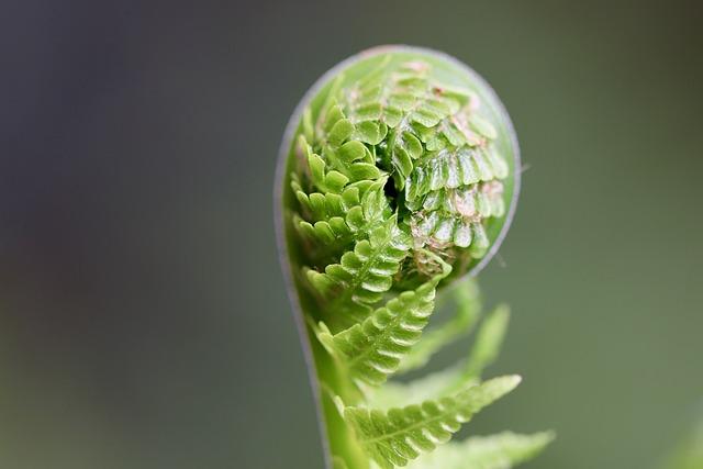 Fern, Sprout, Plant, Fiddlehead, Unfold, Unroll, Growth