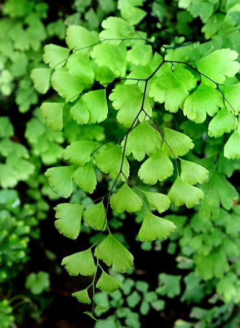 Plant, Fern Foliage, Leaves, Green, Maiden Hair Fern