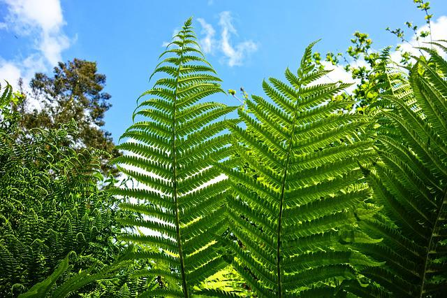 Fern, Plant, Vascular Plant, Frond, Spores, Food
