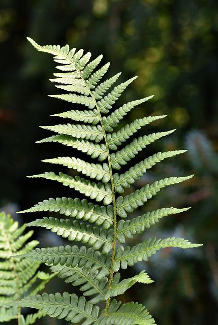 Fern, Fern Leaf, Fern Plant, Fiddlehead, Green Plant