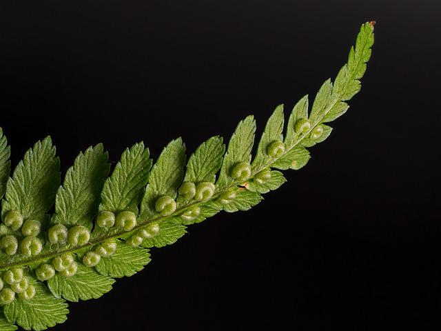 Fern, Woodfern, Fiddlehead, Close Up, Fern Plant