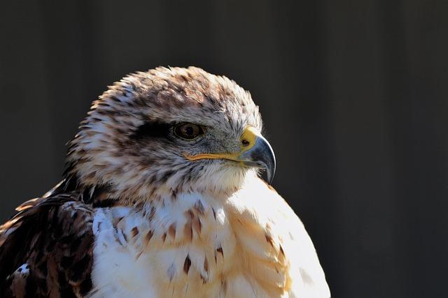 Ferruginous Hawk, Hawk, Ferruginous, Carnivore
