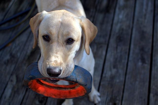 Animal, Animal Photography, Dog, Fetch, Labrador