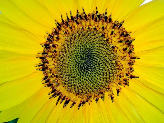 Fibonacci, Sun Flower, Yellow, Close, Blossom, Bloom