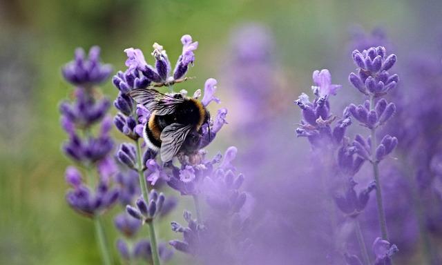 Hummel, Fictional, Insect, Lavender, Lavender Blossom