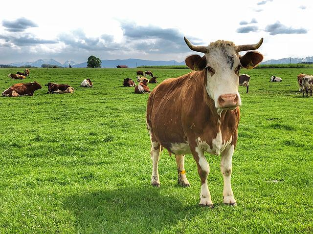 Agriculture, Cow, Farm, Meadow, Field, Animals, Grass