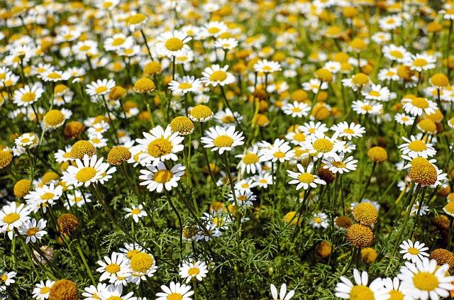 Bertram Root, Medicinal Herbs, Flowers, Bloom, Field