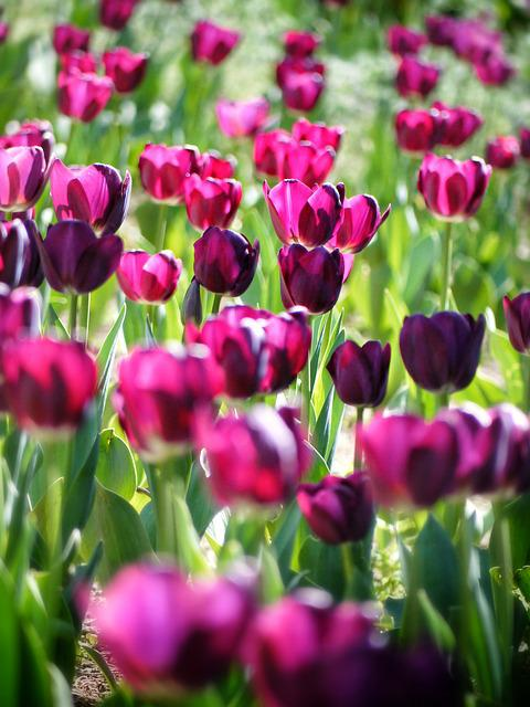 Tulips, Flowers, Field, Bloom, Blossom, Flowering Plant