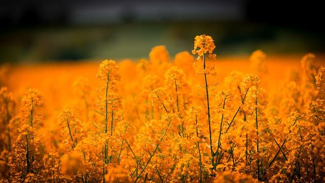 Oilseed Rape, Blossom, Bloom, Field, Nature, Summer