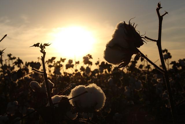 Cotton, Crop, Field, Brazil