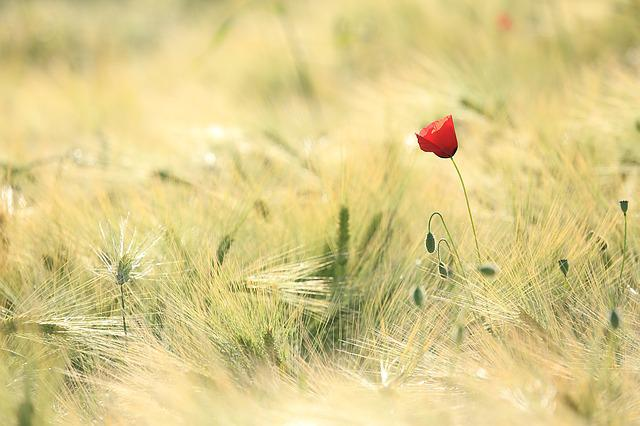 Poppy, Fields, Landscape, Nature, Field, Cereals