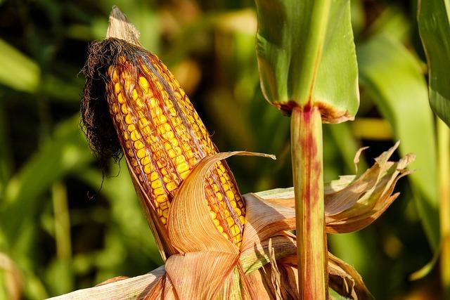 Corn, Food, Field, Vegetable, Corncob, Corn On The Cob