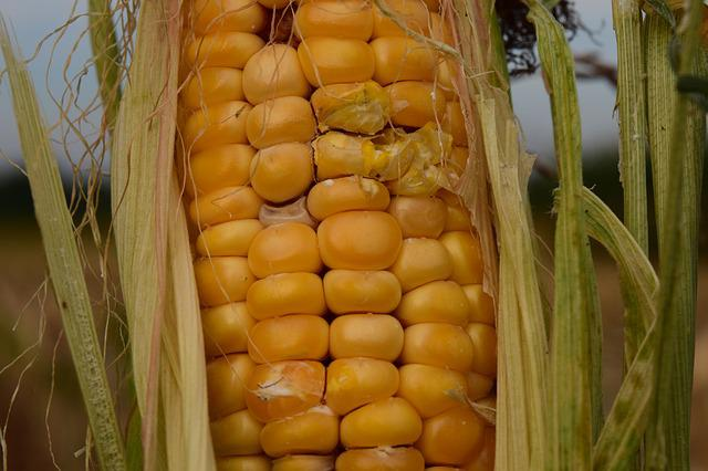 Corn, Dry, Agriculture, Field, Food, Summer, Cornfield