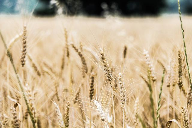 Barley, Close-up, Crops, Farm, Farmland, Field, Rye