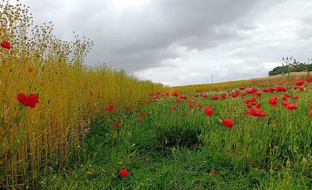Poppy, Poppies, Flowers, Flax, Field, Air, Cloud Cover