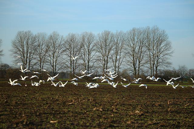 Birds, Swan, Whooper Swan, Swans, Field, Arable, Flight
