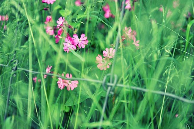Flower, Lychnis, Field Flower, Bloom, Blossom, Grass