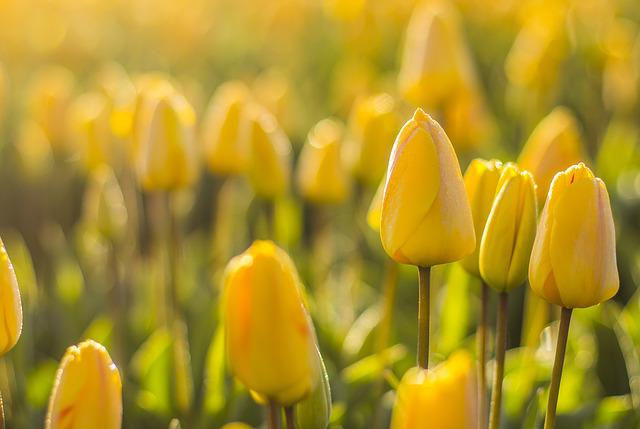 Netherlands, Tulips, Flower, Field, Spring Spring
