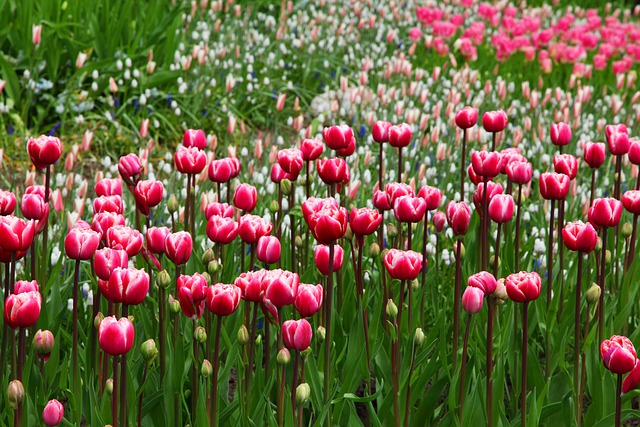Flowers, Tulips, Field, Pink Flowers, Bloom, Blossom