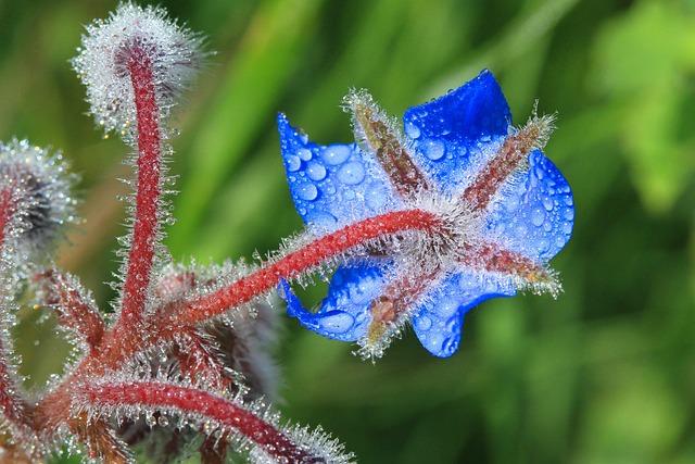 Borage, Flowers, Field