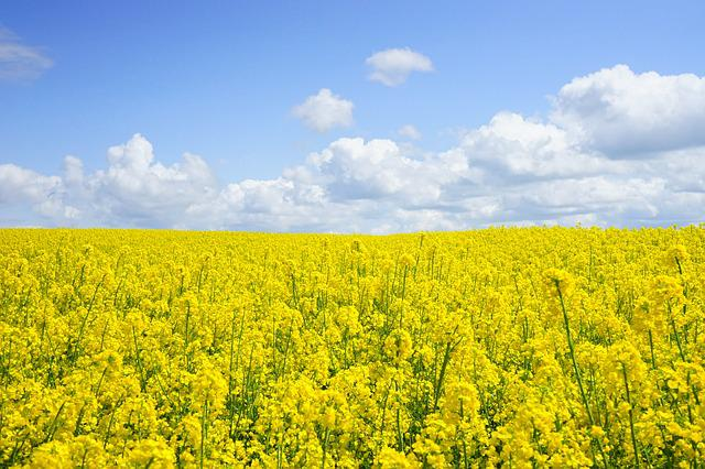 Rapeseeds, Flowers, Field, Yellow Flowers