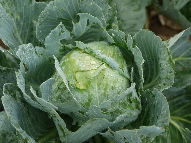 Kohl, White Cabbage, Frisch, Field, Cultivation, Garden