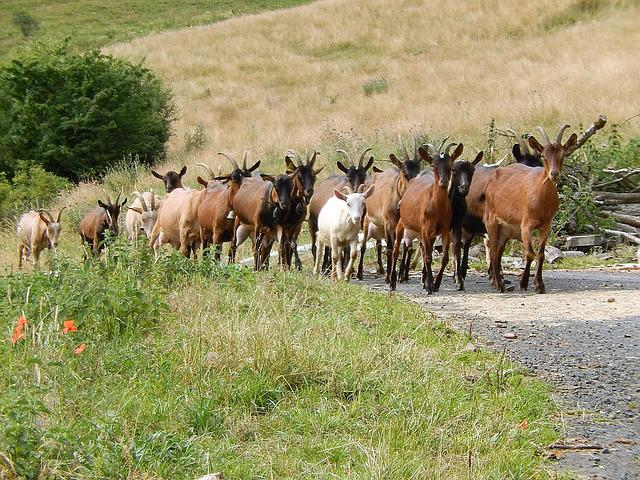 Goats, Field, Nature, Auvergne