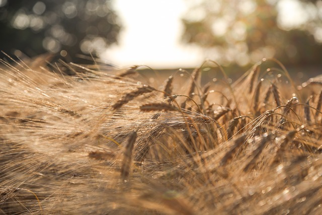 Barley, Summer, Field, Bread, Cornfield, Harvest, Seed