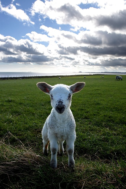 Lamb, Field, Holy Island, Small, Pasture