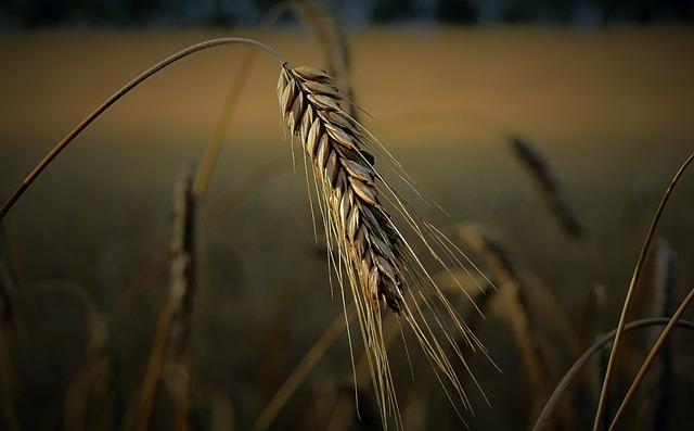Kłos, Corn, Field, Harvest, Evening