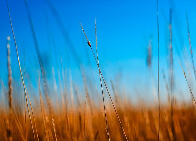 Nature, Blue, Macro, Wheat, Light, Season, Sun, Field