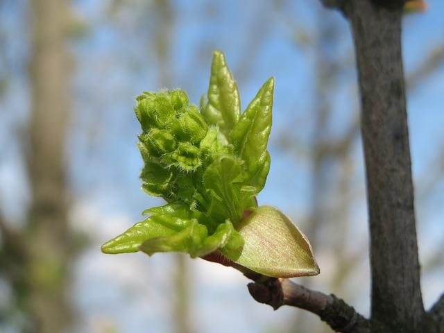 Acer Campestre, Field Maple, Hedge Maple, Sprout, Bud