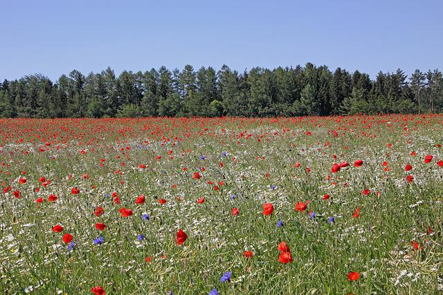 Field Of Poppies, Poppies, Flower Meadow, Meadow, Field