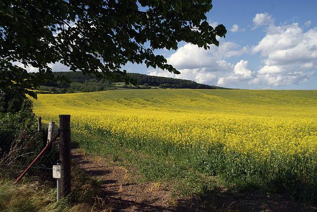 Field Of Rapeseeds, Oilseed Rape, Field, Landscape