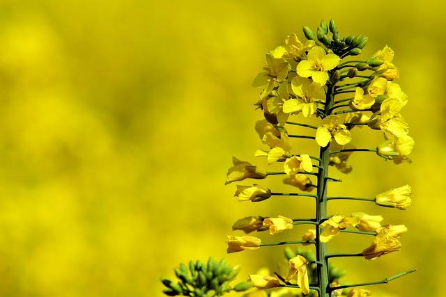 Oilseed Rape, Close, Yellow, Field Of Rapeseeds, Spring