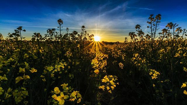 Field Of Rapeseeds, Sunset, Sunrise, Spring, Rare Plant