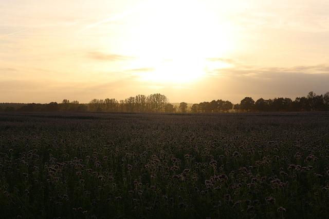 Sunset, Field, Bees, Phacelia, Abendstimmung