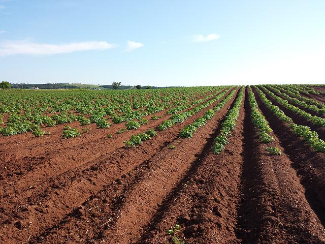 Potato, Field, Crops, Farm, Soil, Summer, Plant, Plow