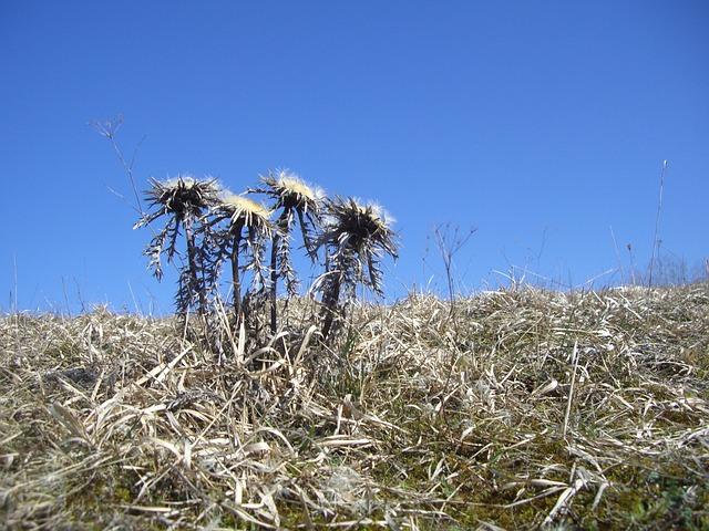 Silberdisteln, Thistles, Plant, Field