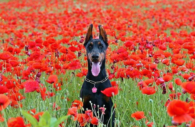 Doberman Dog, Sitting, Poppy, Field