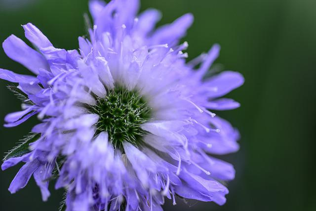 Flower, Blossom, Bloom, Violet, Field Scabious