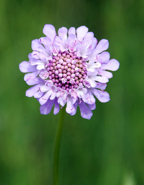 Field Scabious, Purple, Wild Flower