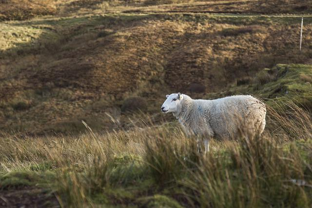 Animal, Sheep, Field, Moor, Highland, Livestock, Wool