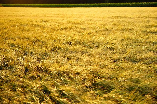 Field, Spike, Grain, Evening Light, Golden, Gold