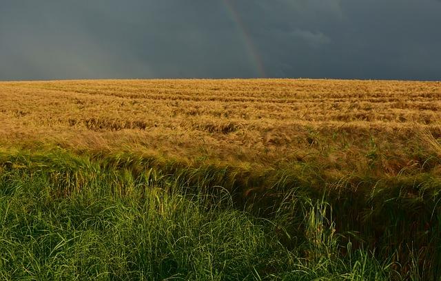 Cornfield, Dusk, Field, Nature, Summer, Staple Food